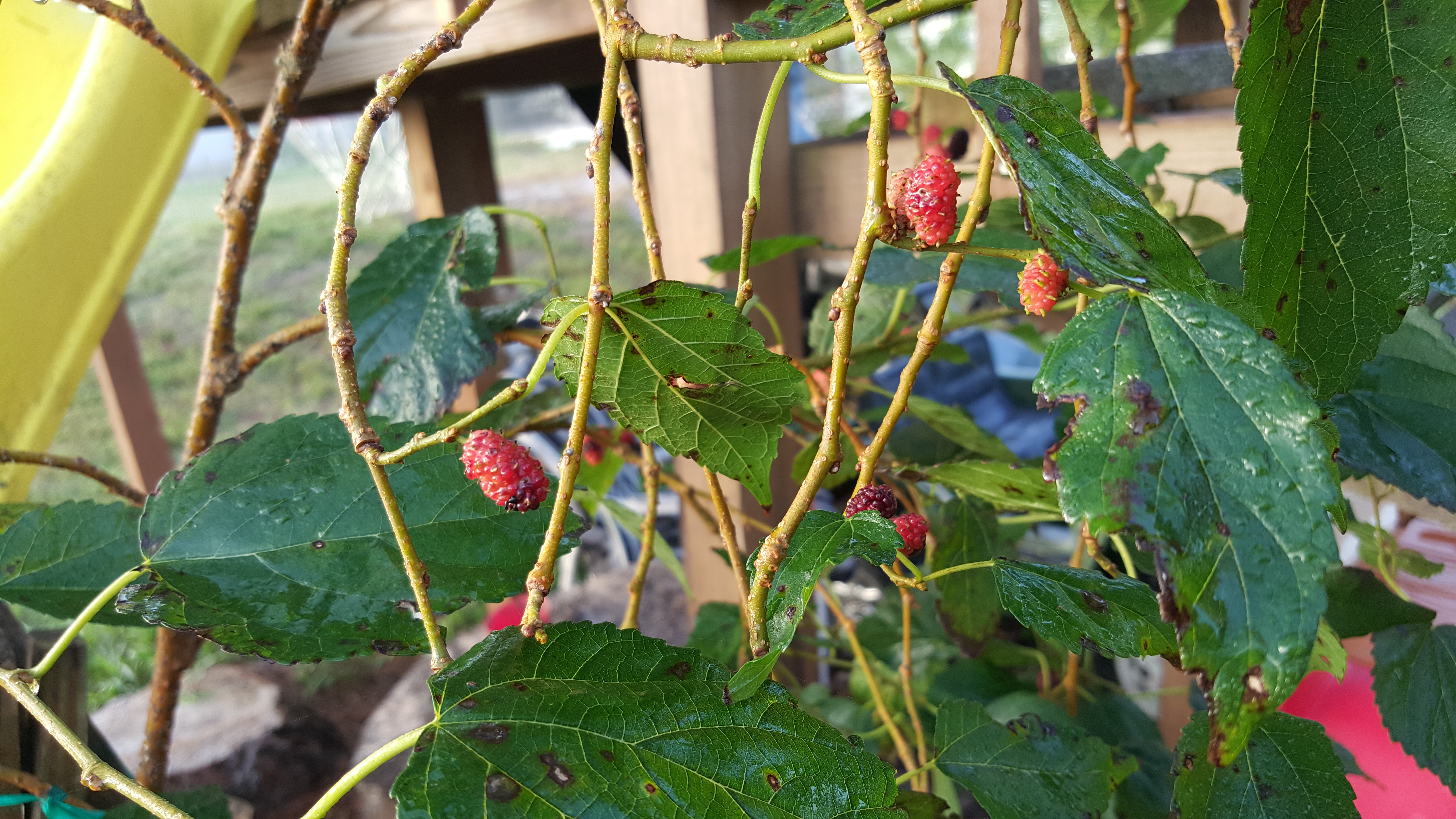 Mulberry everbearing and shangri la food forest permaculture unripe mulberry fruit may be hallucinogenic sciox Image collections