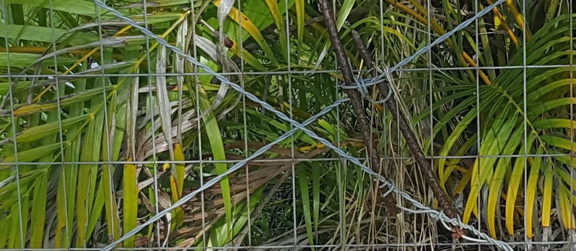 Brace welded wire fence with spike nails and bracing wire